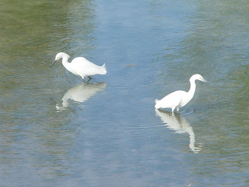 Two Egrets at Elephant Butte Lake