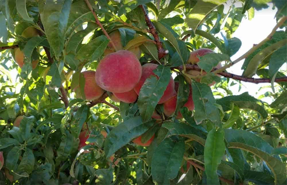 fresh peaches at Valhalla Orchards, Arrey New Mexico